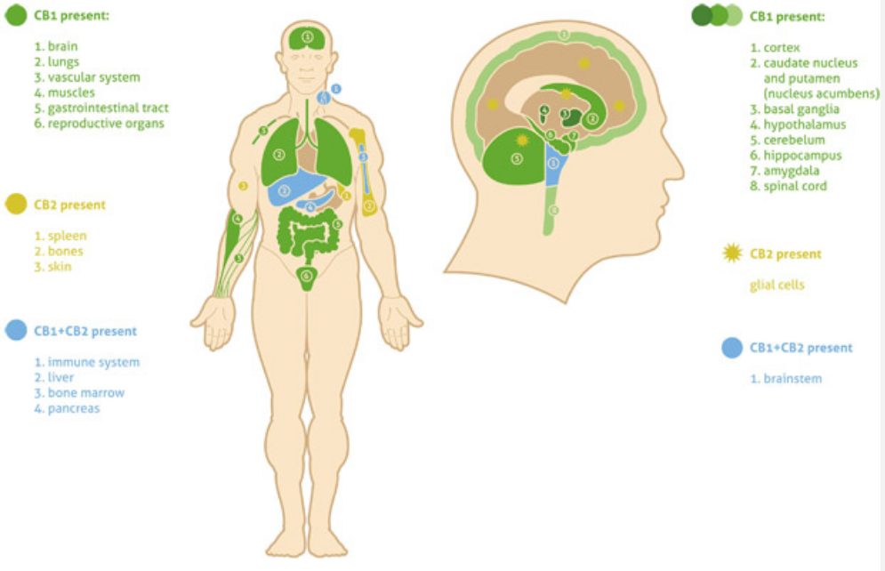The Endocannabinoid
